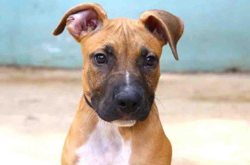 צ'ירו כלב לאימוץ אגודת צער בעלי חיים בישראל