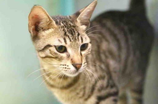 טטריס חתול לאימוץ אגודת צער בעלי חיים בישראל