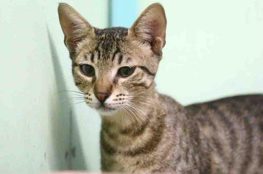 פליקס חתול לאימוץ אוגדת צער בעלי חיים בישראל