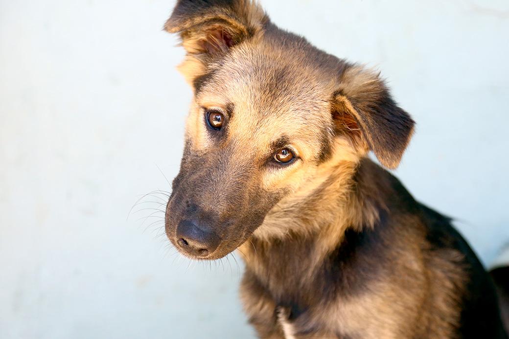 סיני כלבה לאימוץ אגודת צער בעלי חיים בישראל