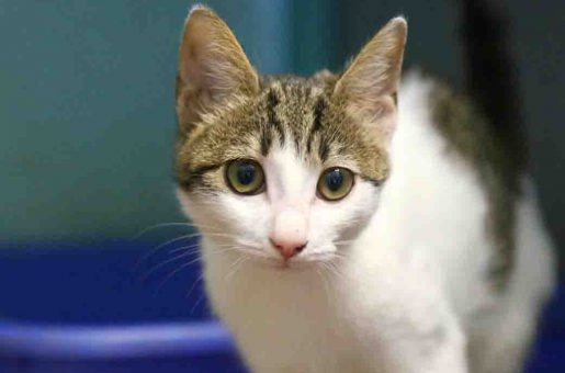 שושנה חתולה לאימוץ אגודת צער בעלי חיים בישראל