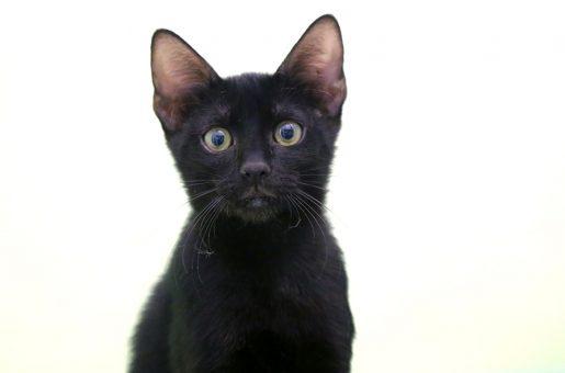 דוד חתול לאימוץ אגודת צער בעלי חיים בישראל