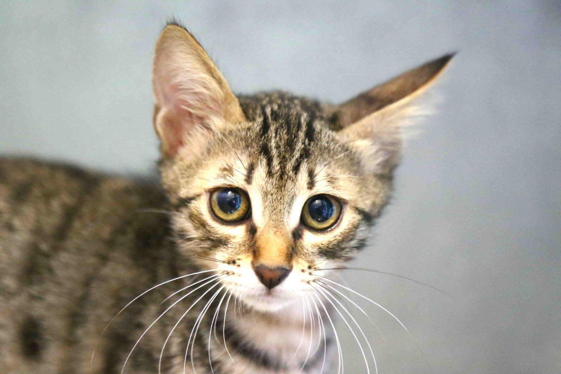 מישקה חתול לאימוץ אגודת צער בעלי חיים בישראל