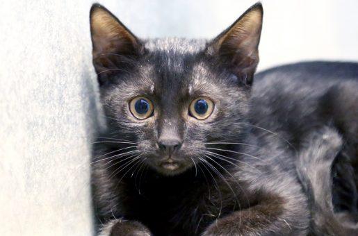 משה חתול לאימוץ אגודת צער בעלי חיים בישראל