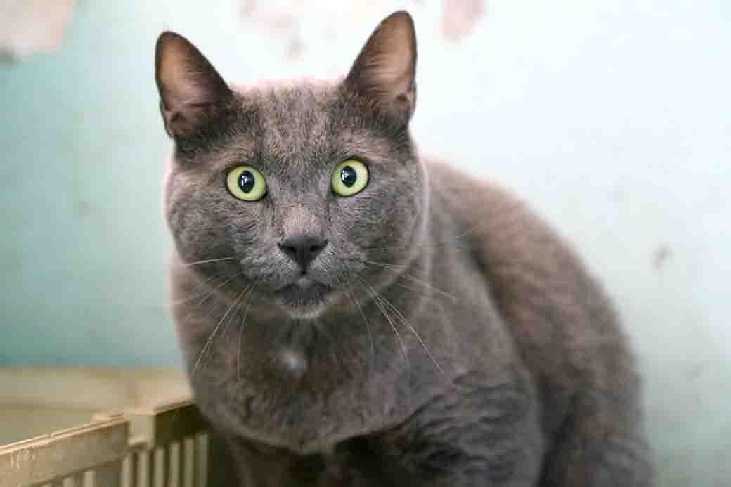 צ'יף חתול לאימוץ אגודת צער בעלי חיים בישראל