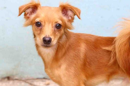 שושן כלב לאימוץ אגודת צער בעלי חיים בישראל