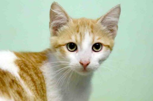 טימור חתול לאימוץ אגודת צער בעלי חיים בישראל