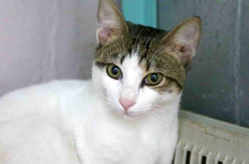 קוצ'ה חתול לאימוץ אגודת צער בעלי חיים בישראל