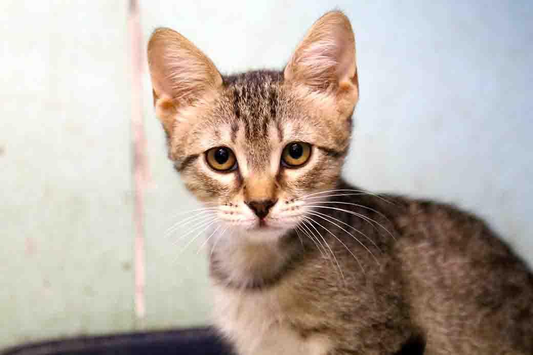 פריצי חתולה לאימוץ אגודת צער בעלי חיים בישראל