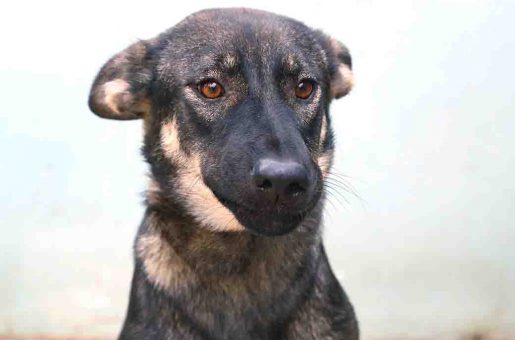 רומי כלבה לאימוץ אגודת צער בעלי חיים בישראל