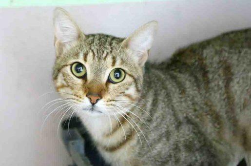קסם חתולה לאימוץ אגודת צער בעלי חיים בישראל