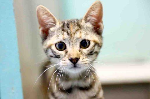 טיקה חתולה לאימוץ אגודת צער בעלי חיים בישראל