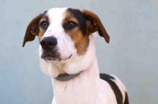 ג'ואי כלב לאימוץ אגודת צער בעלי חיים בישראל