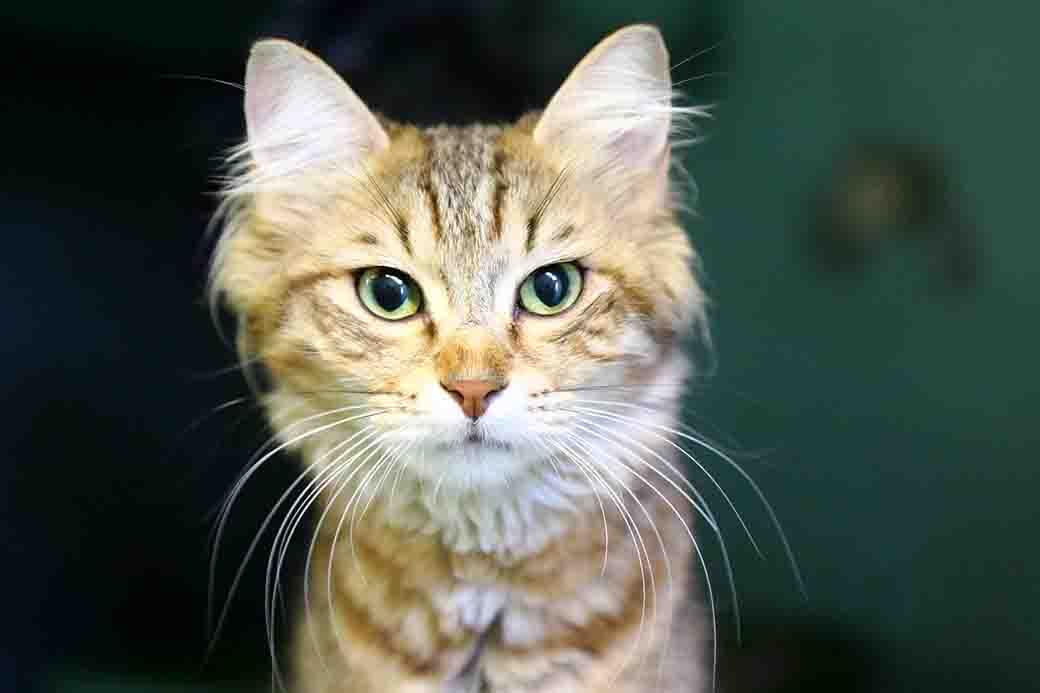 פוקסי חתולה לאימוץ אגודת צער בעלי חיים בישראל