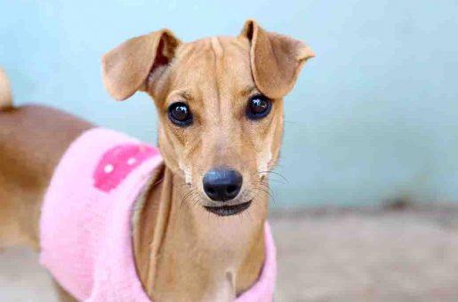 רינגו כלב לאימוץ אגודת צער בעלי חיים בישראל