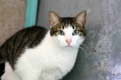 קייטי חתולה לאימוץ אגודת צער בעלי חיים בישראל
