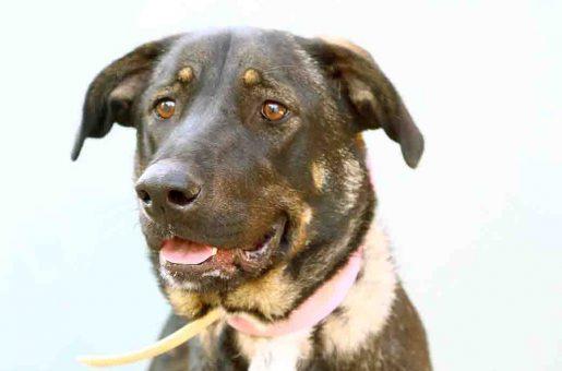 צ'ילו כלבה לאימוץ אגודת צער בעלי חיים בישראל