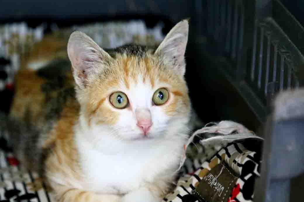 זולה חתולה לאימוץ אגודת צער בעלי חיים בישראל