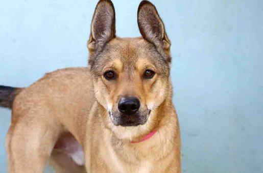 סקאי כלב לאימוץ אגודת צער בעלי חיים בישראל