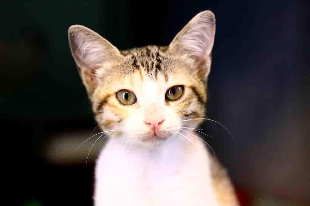 אנה חתולה לאימוץ אגודת צער בעלי חיים