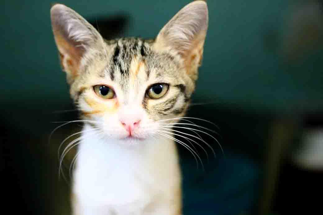 אלזה חתולה לאימוץ אגודת צער בעלי חיים בישראל