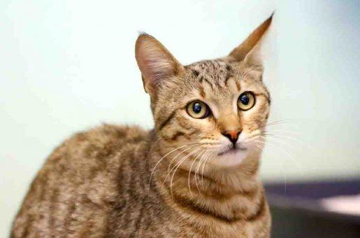 סושי חתולה לאימוץ אגודת צער בעלי חיים