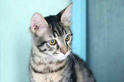 אוליבר חתול לאימוץ אגודת צער בעלי חיים בישראל