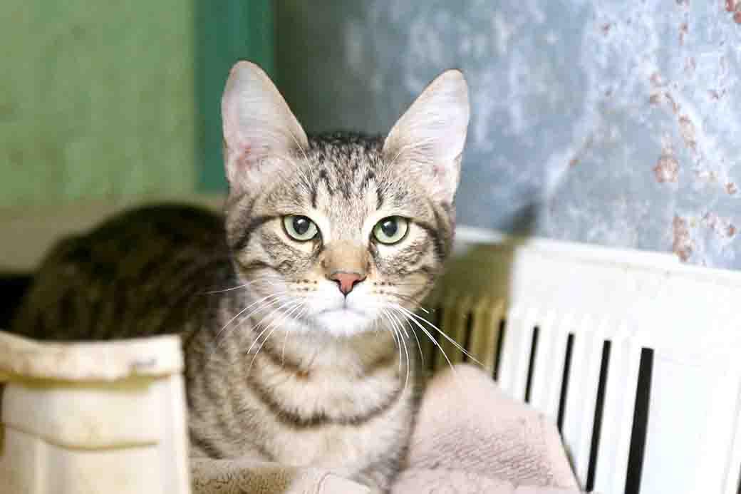 טייגר חתול לאימוץ אגודת צער בעלי חיים בישראל