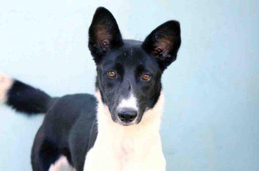 צ'אקית כלבה לאימוץ אגודת צער בעלי חיים בישראל