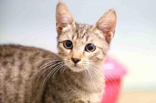 ציטה חתולה לאימוץ אגודת צער בעלי חיים בישראל
