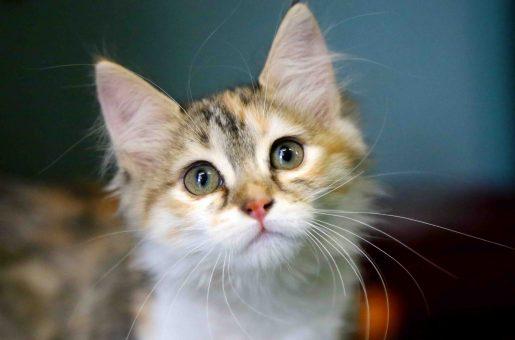ביונסה חתולה לאימוץ אגודת צער בעלי חיים בישראל