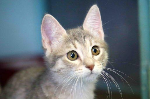 שקירה חתולה לאימוץ אגודת צער בעלי חיים בישראל
