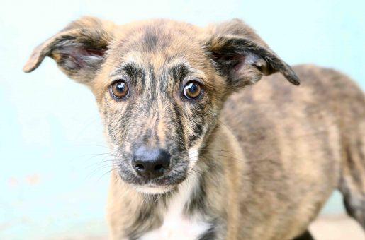 לוליק כלב לאימוץ אגודת צער בעלי חיים בישראל