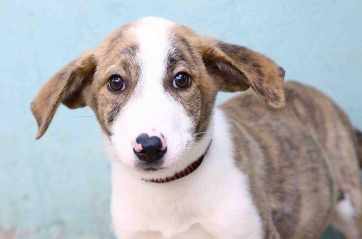 בוליק כלב לאימוץ אגודת צער בעלי חיים בישראל