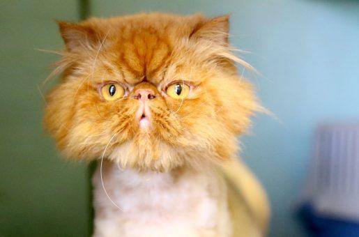 ג'וני חתול לאימוץ אגודת צער בעלי חיים בישראל