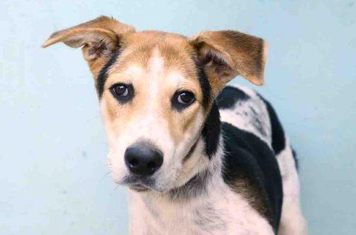ספייק כלב לאימוץ אגודת צער בעלי חיים בישראל
