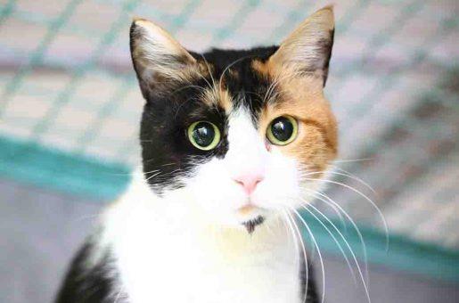 לינדה חתולה לאימוץ אגודת צער בעלי חיים