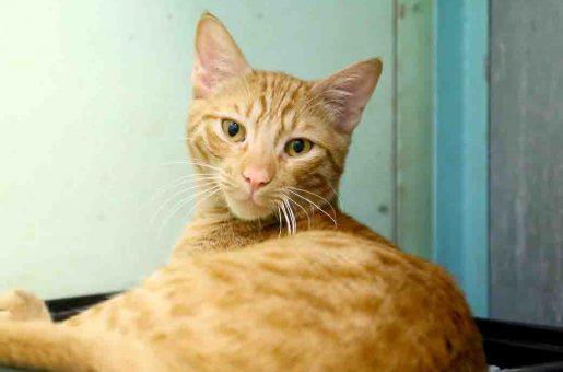 ג'ינג'י חתול לאימוץ אגודת צער בעלי חיים בישראל