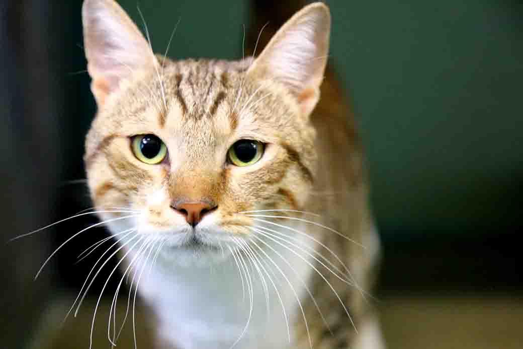 קאיו חתול לאימוץ אגודת צער בעלי חיים בישראל