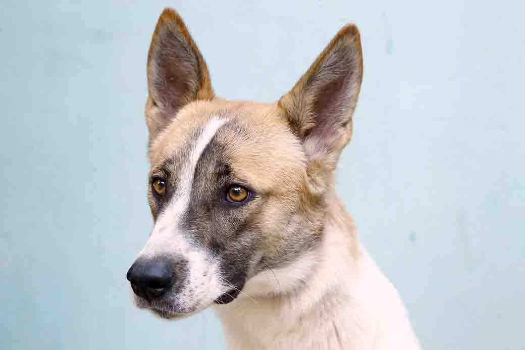 אנג'ל כלבה לאימוץ אגודת צער בעלי חיים בישראל