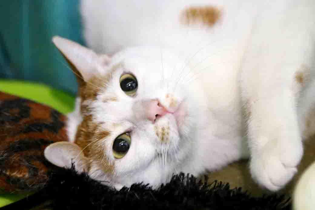 ואסילי חתול לאימוץ אגודת צער בעלי חיים בישראל