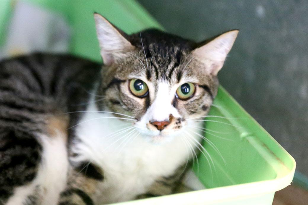 פדורה חתולה לאימוץ אגודת צער בעלי חיים בישראל
