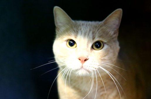 נפוליאון חתול לאימוץ אגודת צער בעלי חיים בישראל