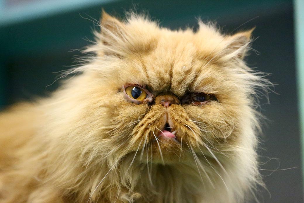 ג'וג'ו חתולה לאימוץ אגודת צער בעלי חיים בישראל
