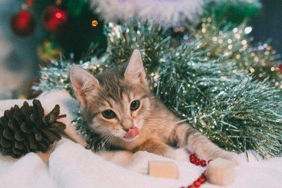 חתולה לאימוץ - אגודת צער בעלי חיים בישראל