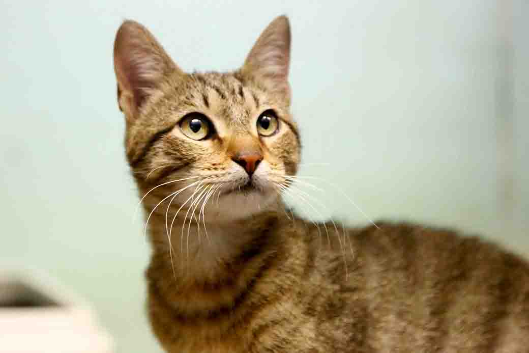 שמוליק חתול לאימוץ אגודת צער בעלי חיים בישראל