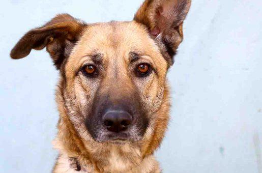 שולה כלבה לאימוץ אגודת צער בעלי חיים בישראל