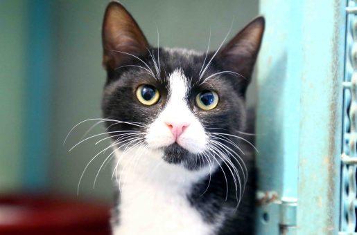 מריקה חתולה לאימוץ אגודת צער בעלי חיים בישראל
