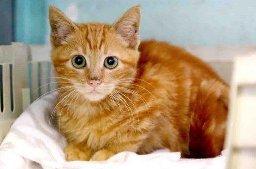 שמש חתול לאימוץ אגודת צער בעלי חיים בישראל