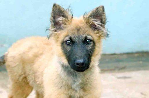 קיארה כלבה לאימוץ אגודת צער בעלי חיים בישראל
